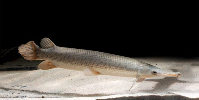 jenis ikan aligator shortnose gar ini mempunyai moncong yang lebih pendek