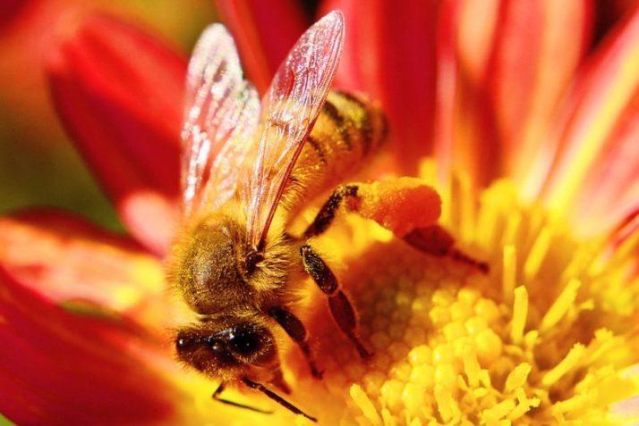 Lebah Madu Merah (Apis koschevnikovi) dapat diambil manfaatnya