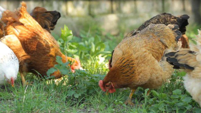 gambar Ayam