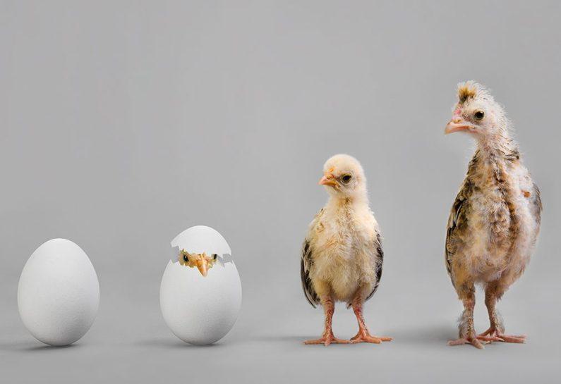 Usia Ayam