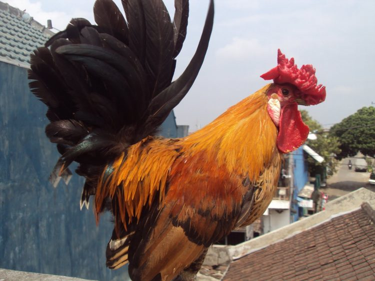Ayam Blasteran