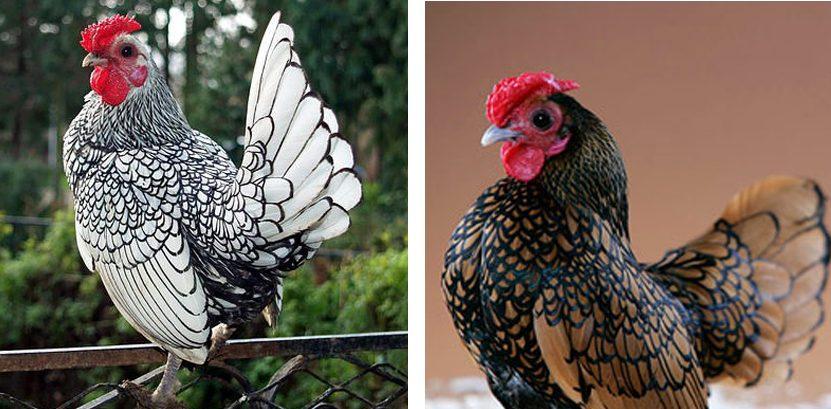 jenis Ayam Kate Batik