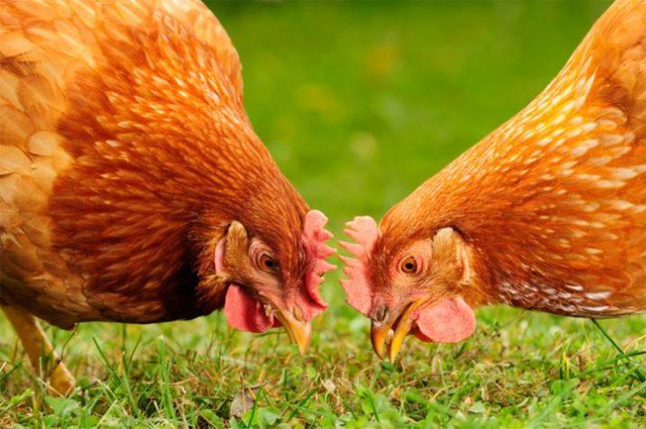 makanan ayam