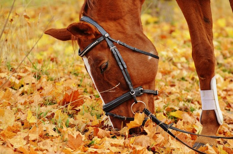 kuda makan rumput