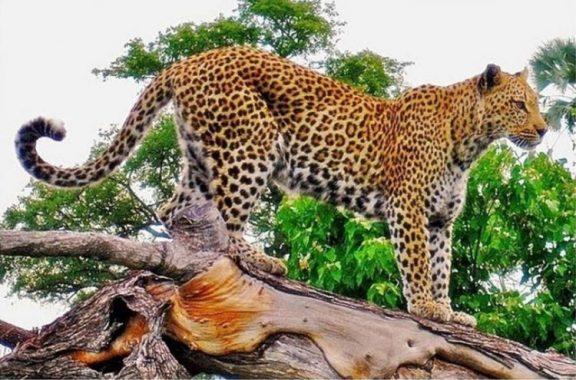 Harimau Tutul Jawa