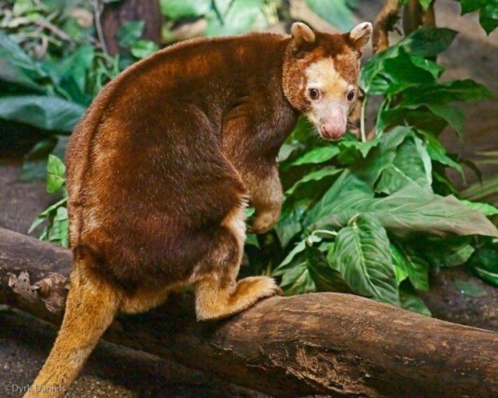 kangguru pohon