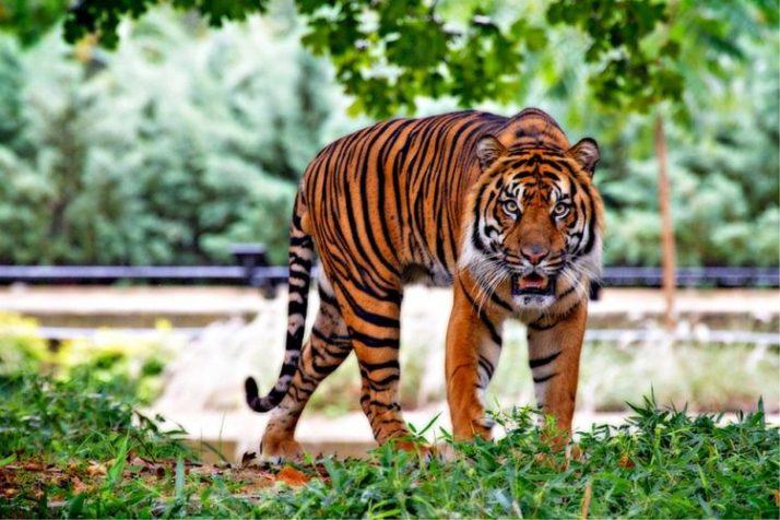 Sumateran tiger