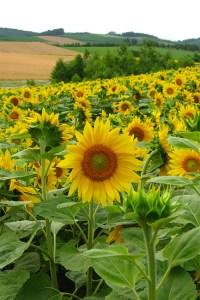 Hokkaido sunflowers