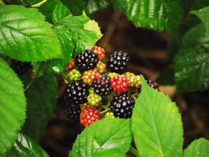 This time of year the berries are plentiful. These are from my backyard.