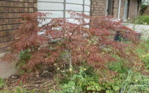 A-few-years-old Japanese maple growing in my yard.