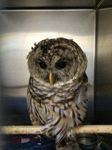 injured owl - wildlife rehabilitation