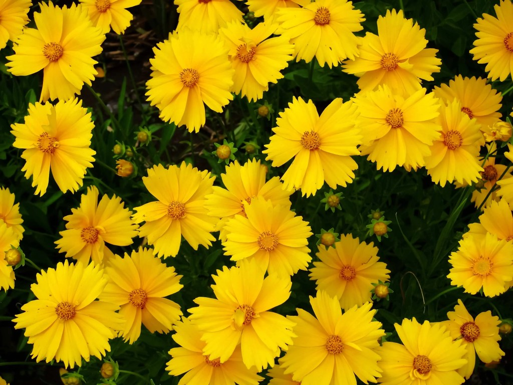 yellow coreopsis flowers with orange centers
