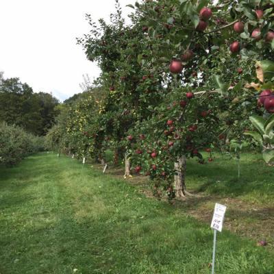Apple Picking at Windy Hill Farm