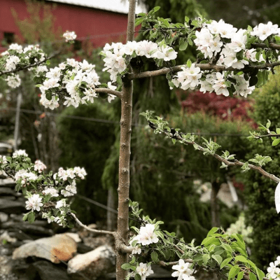 Celebrating the Arrival of Spring with Choice Fruit Trees