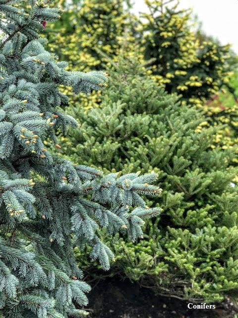 Conifers2