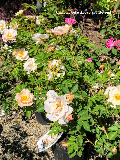 Climbing rose Above and Beyond