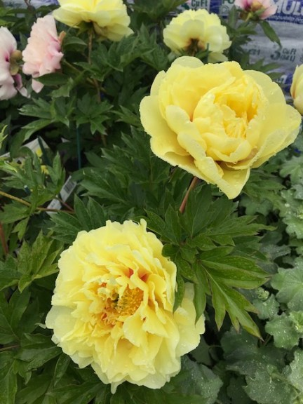 Celebrating Father's Day with Hardy Shrub Roses, Herbaceous, Intersectional & Tree Peonies – June 12, 2019