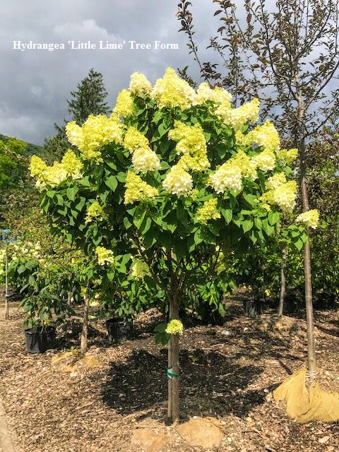 Hydrangea Limelight treeform