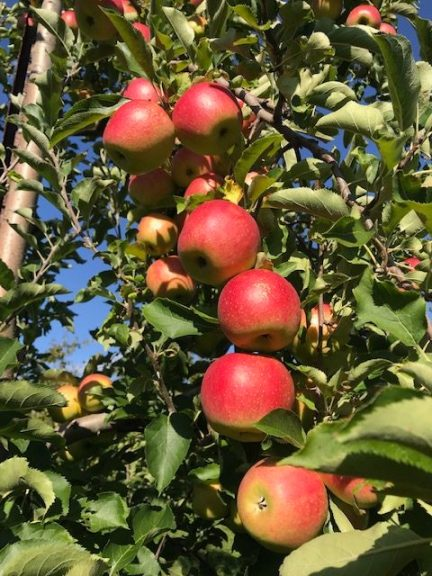 2019 PYO Apple Season