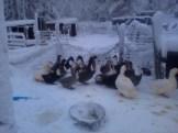 Ducks quacking happily