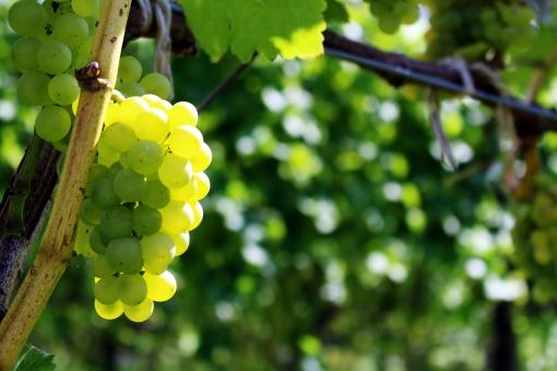 第117回【ワイン用ブドウ品種一覧・特徴】白ブドウ①アイレン~アンソニカ