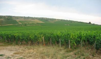 vineyards of Nuits St. Georges