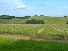 Rolling hills of vines