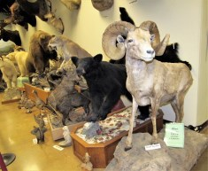 Bighorn Sheep and Black Bear