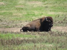Bison lying around