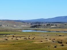YNP-Bison-View