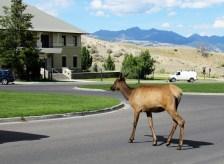 Elk at Mammoth Springs