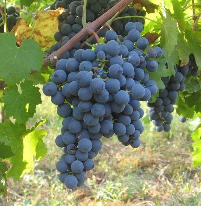 Carmenere grape cluster.