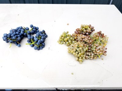 Chambourcin and Petit Manseng grapes from Cedar Rose Vineyards.  Wine Casual