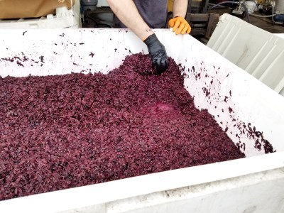 Bellview Winery is producing its first vintage of wine from the San Marco grape, a Northern-Italian vinifera  crossing of Teroldego and Lagrein.  Wine Casual