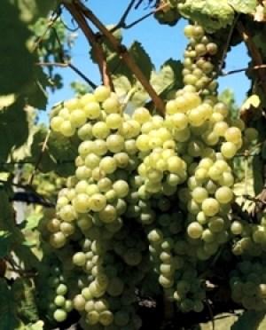 White grapes from Vinho Verde where the dominant grapes are Loureiro, Alvarinho, Avesso, Arinto and Trajadura. Wine Casual