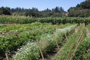 vegetable garden at DaVero