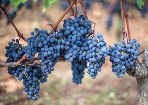 Merlot grapes St. Emilion