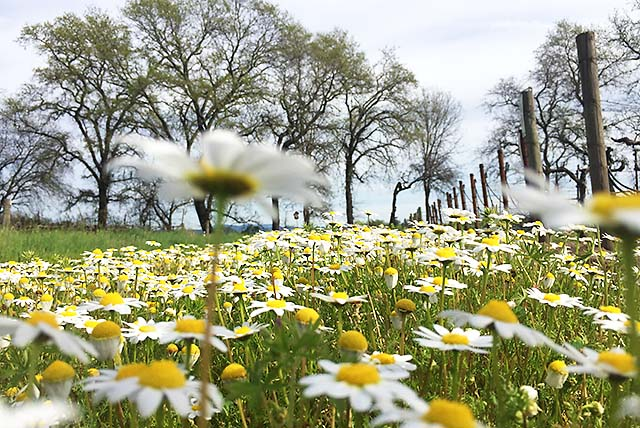 Wildflowers in wine country