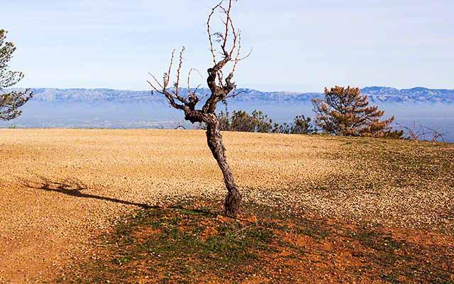 Ridge Monte Bello Cabernet Sauvignon planted in 1949