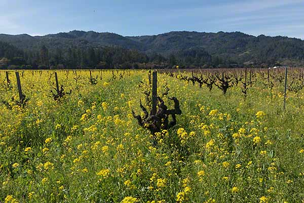 Old Vines and Wild Mustard in Napa Valley