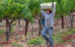 Sauvignon blanc harvest 2018