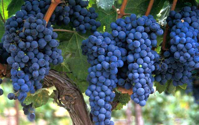 Make a large print of this beautiful grape cluster - JoeBecerra.Com