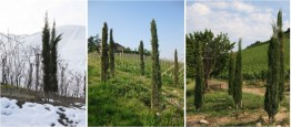 cypress-being-planated-in-gaja-vineyards