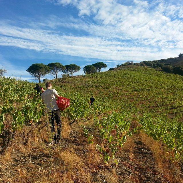 Harvest at Terroir al Limit