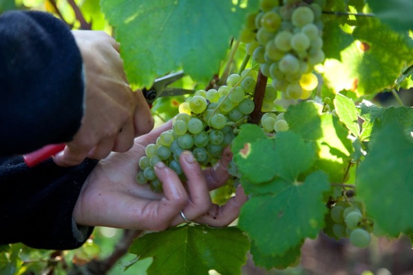 Leroux Picking Chardonnay