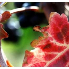 Paolo Scavino foglie