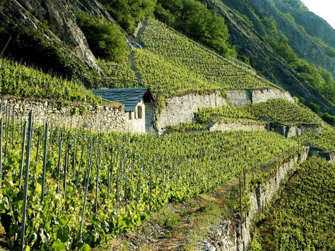 Terraced vineyards make the vendange a tricky exercise.