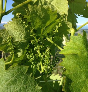 Early season Dolcetto grapes in vineyards of Cantina Gigi Rosso in Diano d'Alba.