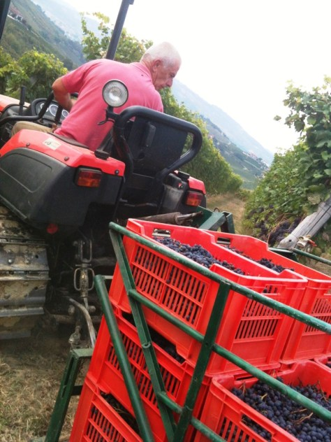Italo carefully driving crates of Dolcetto grapes from the vineyard to the cantina.