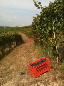 Harvest time in Barbaresco